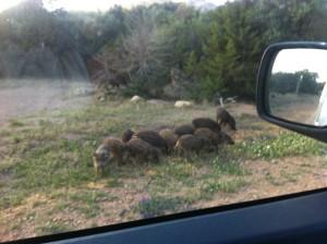 Men se upp för vildsvinen! Kultingarna är så söta att man vill ta med dem hem.