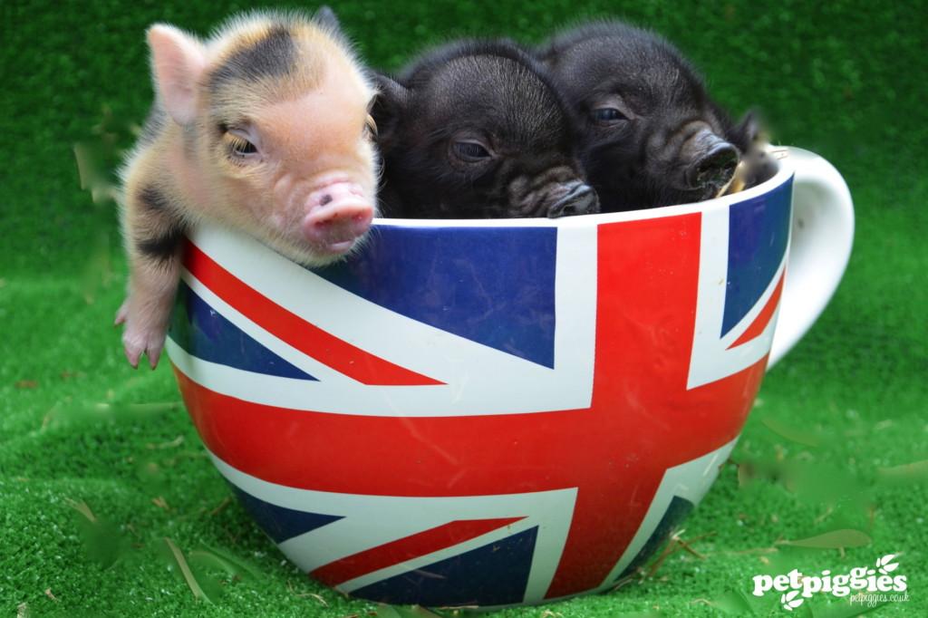 En mikrogris till teet? Är små klövar din cup of tea? Ansök om en plats på Londons Pignic!