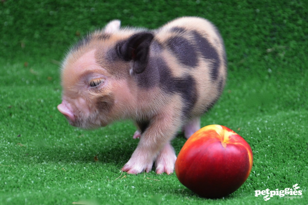 micro-pig-peach