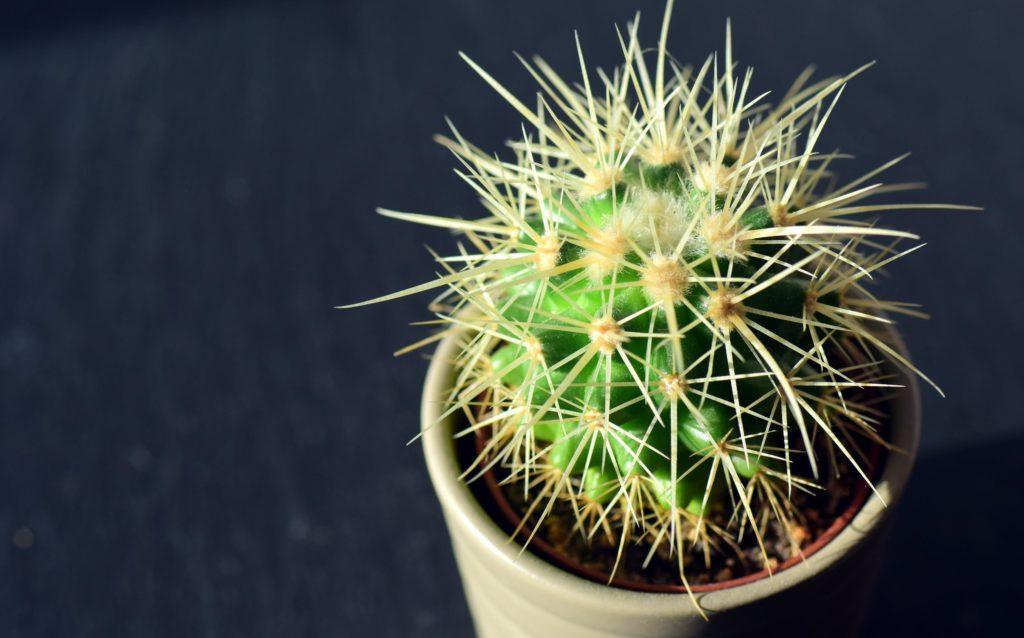 Kaktusen - vassare än vi trott?