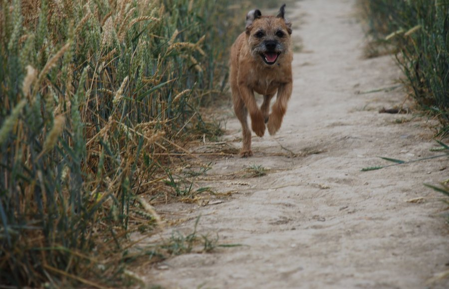 border_terrier_running__by_katie5871-d33zyp1