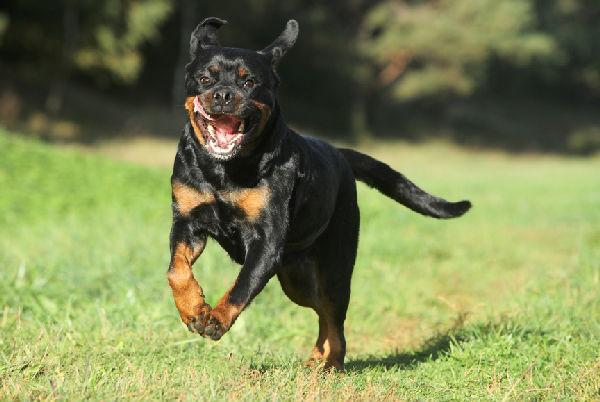 aggressive-rottweiler-r